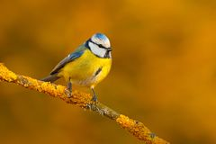 Blue Tit, cute blue and yellow songbird in winter scene, snow flake and nice snow flake and nice lichen branch, Germany, Face port. Rait of songbird Stock Photo