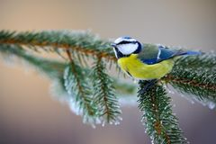 Blue Tit, cute blue and yellow songbird in winter scene, snow flake and nice spruce tree branch, Sweden. Europe Stock Image