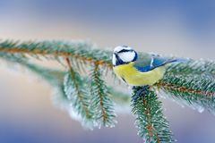 Blue Tit, cute blue and yellow songbird in winter scene, snow flake and nice spruce tree branch, Russia. First snow with bird. Win. Blue Tit, cute blue and Stock Photo