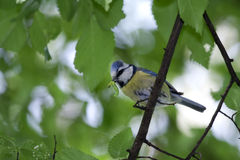 Blue Tit (Cyanistes caeruleus). A Blue Tit (Cyanistes caeruleus or Parus caeruleus) on a branches on a branch with a bug in its beak. It's coming back to the Royalty Free Stock Photos