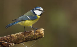 Blue tit, cyanistes caeruleus. Royalty Free Stock Images