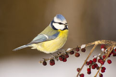 Blue tit (Cyanistes caeruleus). In the winter time Royalty Free Stock Photos