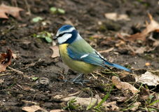 Blue Tit (Cyanistes caeruleus) Royalty Free Stock Photo
