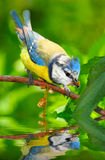 The Blue Tit (Cyanistes caeruleus). The Blue Tit (Cyanistes caeruleus) over a garden pond. Telephoto lens shot with shallow DOF Royalty Free Stock Photography