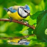 The Blue Tit (Cyanistes caeruleus). The Blue Tit (Cyanistes caeruleus) over a garden pond. Telephoto lens shot with shallow DOF Stock Photos