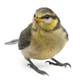 Blue Tit, Cyanistes caeruleus, 23 days old Royalty Free Stock Photo