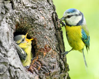 The Blue Tit (Cyanistes caeruleus). Feeding her young one. Telephoto lens shot with shallow DOF Royalty Free Stock Photo