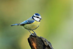 Blue Tit (Cyanistes caeruleus). A Blue Tit Cyanistes caeruleus sits on a tree stump Stock Photos