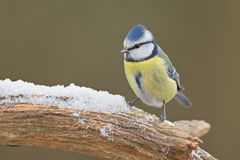 Blue tit (Cyanistes caeruleus). In the snow Stock Photography