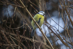 Blue tit (cyanistes caeruleus) Royalty Free Stock Photos