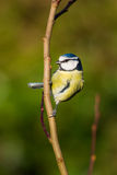 Blue Tit (Cyanistes caeruleus) Royalty Free Stock Photos