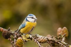 Blue tit, Cyanistes caeruleus, in autumn Royalty Free Stock Images