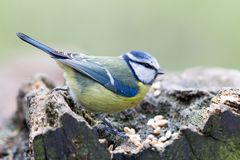 Blue Tit Cyanistes caeruleus. In the nature reserve Moenchbruch near Frankfurt, Germany Stock Photography