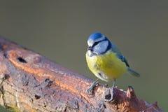Blue tit Cyanistes caeruleus. In the nature reserve Moenchbruch near Frankfurt, Germany Stock Photo