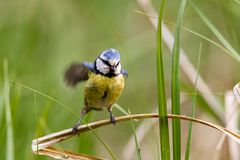 Blue Tit Cyanistes caeruleus. Sitting in the grass in a nature protection area near Frankfurt, Germany, Europe Royalty Free Stock Photography