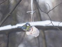 Blue Tit, Cyanistes caeruleus, on a fat ball in winter, close-up portrait, selective focus, shallow DOF Royalty Free Stock Image