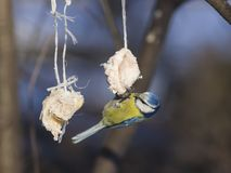 Blue Tit, Cyanistes caeruleus, on a fat ball in winter, close-up portrait, selective focus, shallow DOF Stock Photo