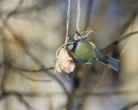 Blue Tit, Cyanistes caeruleus, on a fat ball in winter, close-up portrait, selective focus, shallow DOF Stock Photography