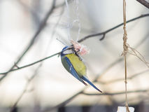 Blue Tit, Cyanistes caeruleus, on a fat ball in winter, close-up portrait, selective focus, shallow DOF Stock Images