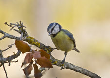 Blue Tit (Cyanistes caeruleus). This forest, noisy and active, insectivore is very conspicuous by its striking combination of blue and yellow colors. Frequents Stock Photography
