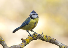 Blue Tit (Cyanistes caeruleus). This forest, noisy and active, insectivore is very conspicuous by its striking combination of blue and yellow colors. Frequents Royalty Free Stock Photo