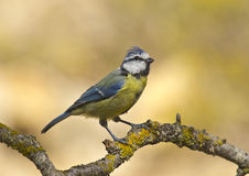 Blue Tit (Cyanistes caeruleus). This forest, noisy and active, insectivore is very conspicuous by its striking combination of blue and yellow colors. Frequents Royalty Free Stock Photos