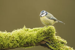 Blue Tit; (Cyanistes caeruleus) perched on a log Stock Photography