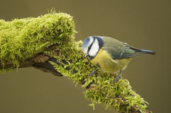 Blue Tit; (Cyanistes caeruleus) perched on a log Stock Photo