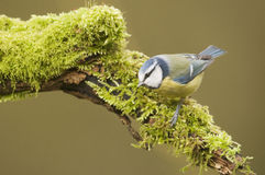 Blue Tit; (Cyanistes caeruleus) perched on a log Royalty Free Stock Image