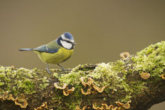 Blue Tit; (Cyanistes caeruleus) perched on a log
