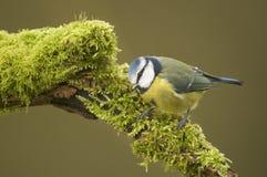 Free Blue Tit; (Cyanistes Caeruleus) Perched On A Log Stock Photo - 51282300