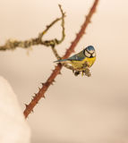Blue Tit on Dog Rose plant Royalty Free Stock Images