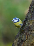Blue Tit (Cyanistes caeruleus) Royalty Free Stock Images
