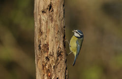 Blue Tit Cyanistes caeruleus searching for food in an old decaying tree. Stock Images