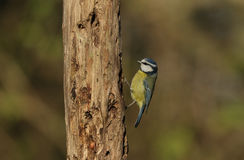 Blue Tit Cyanistes caeruleus searching for food in an old decaying tree. Stock Photography