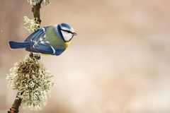 Blue tit Cyanistes caeruleus sitting on a beautiful stick with moss