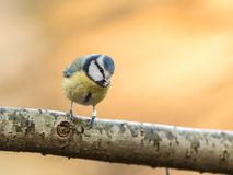Blue tit Cyanistes caeruleus, sitting on a branch with golden background Royalty Free Stock Photo