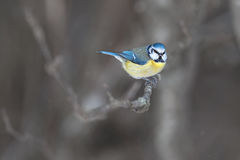 Blue tit, Cyanistes caeruleus sitting on a branch Stock Photography