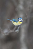 Blue tit, Cyanistes caeruleus sitting on a branch