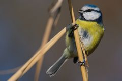 Blue tit Cyanistes caeruleus sitting on a cane