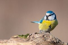 Blue tit, Cyanistes caeruleus, sitting on a stump