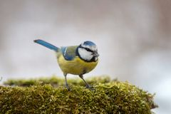 Blue tit Cyanistes caeruleus on winter feeder with sunflower seeds. On a beautiful background Stock Images