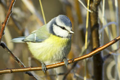 Blue tit / Cyanistes (Parus) caeruleus Royalty Free Stock Photo