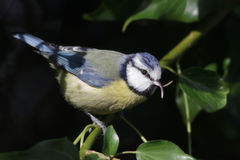 Blue Tit Royalty Free Stock Images