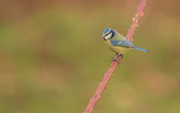 Blue Tit on Dog Plant Stock Images