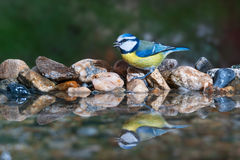 Blue tit drinking