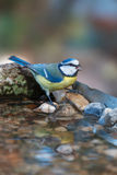 Blue tit drinking at a garden birdbath Stock Photo
