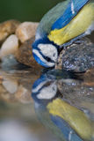 Blue tit drinking and reflection Royalty Free Stock Images