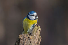 Blue tit on dry stump. Eurasian blue tit (Parus caeruleus) clutched dry tree stump in winter forest Stock Photography