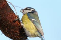 Blue tit eating lard Stock Images